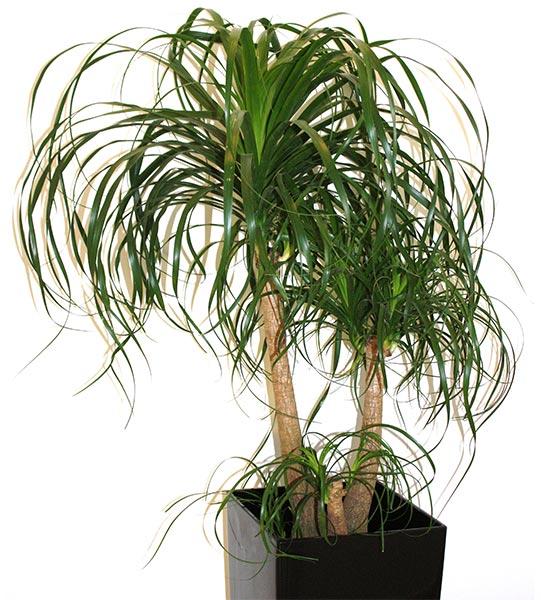 Plante d'intérieur originaire d'Amérique Centrale. Appelée pied d'éléphant en raison de son tronc massif