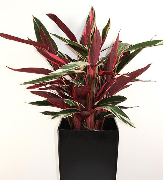 Cordyline fructicosa, l'épinard hawaïen, est une plante tropicale arbustive. Les rhizomes de la cordyline contiennent des féculents et étaient consommés par les Hawaïens.