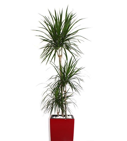 Une étude réalisée en 1989 par la NASA le reprend parmi les plantes les plus efficaces pour débarrasser l'intérieur des bâtiments des principaux polluants domestiques.