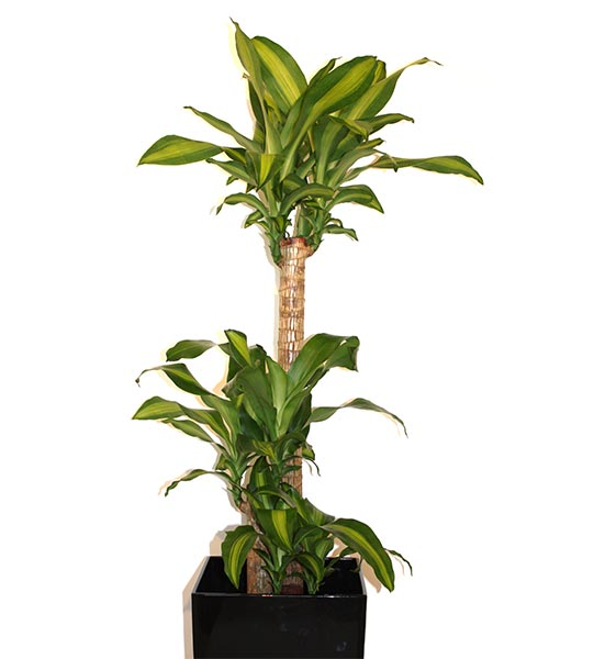 Le dracaena fragrans est apprécié dans les jardins tropicaux pour ses floraisons nocturnes intensément parfumées. Aux Antilles, il est cultivé comme haie brise-vent en zones bananières.