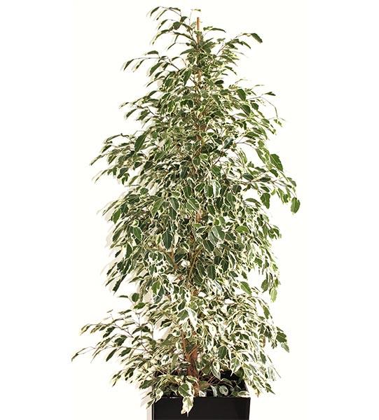 Appelé aussi Ficus Benjamina ou Golden King.