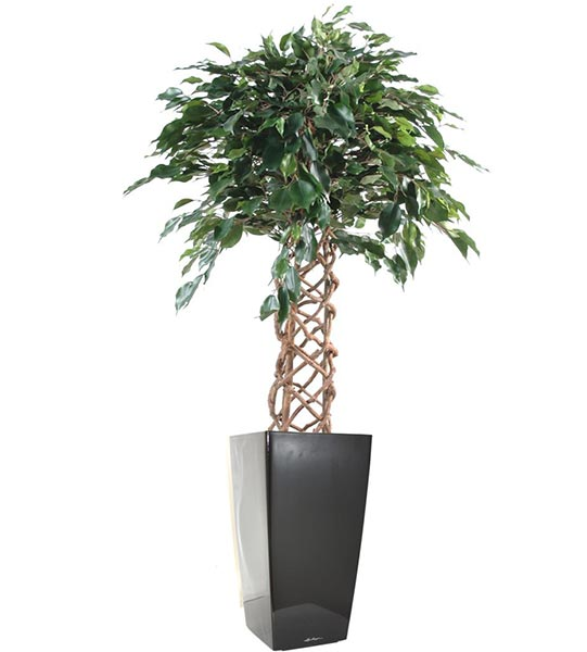 Originaire de l'inde, on connaît à ce jour plus de 750 espèces de la famille des Ficus.
