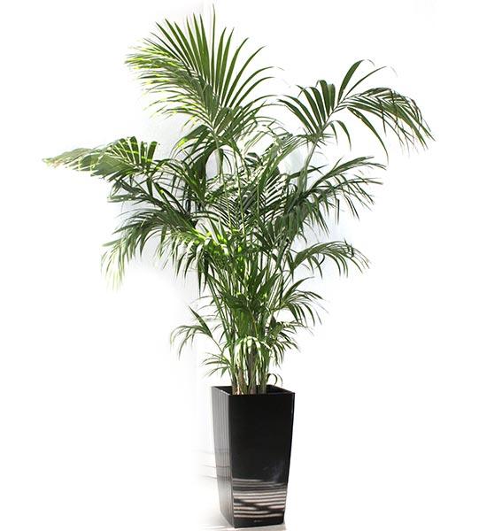 Plante découverte au XVIIème siècle sur l'île Lord Howe (à 1000km au sud-est de l'Australie).