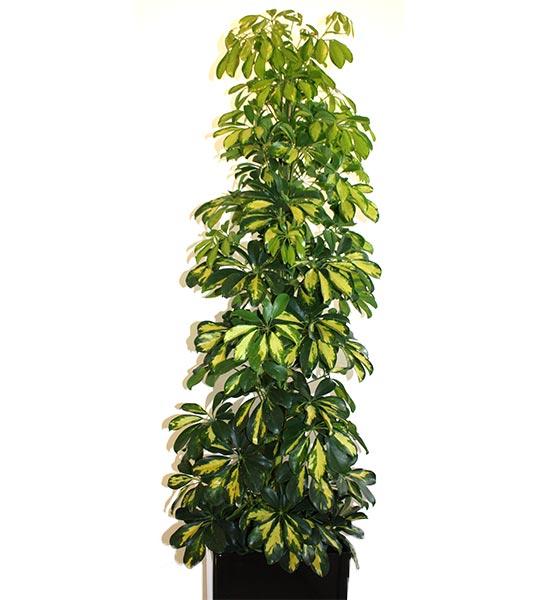 Le scheffléra (heptaleurum brassaia ou schefflera actiniphyla) est dans son pays d'origine l'Australie, un grand arbre pouvant atteindre les 30 mètres.