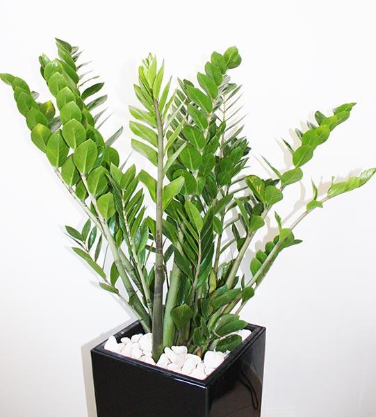 Appelée aussi plante ZZ, c'est une plante tropicale originaire de Zanzibar en Tanzanie.
