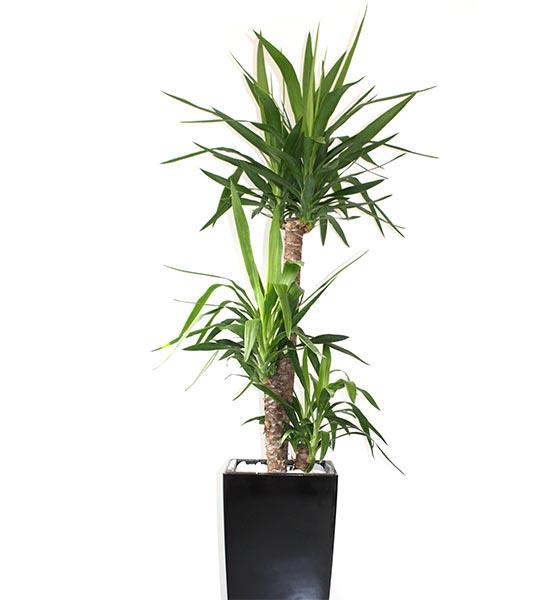 Les Yuccas se rencontrent dans les régions sèches et chaudes de l'Amérique du Nord, le l'Amérique Centrale, et des Antilles.